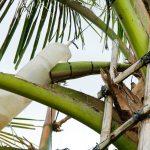 TUỔI TRẺ ONLINE – Tạo ra những dòng sản phẩm độc đáo từ mật hoa dừa